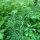 Ackerschachtelhalm - Equisetum arvense